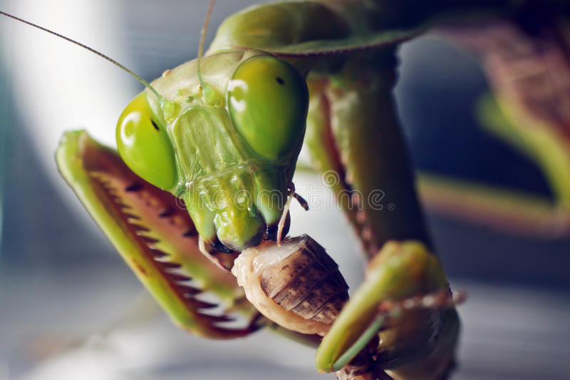 Macro shot of a Praying mantis eating a cricket stock photography