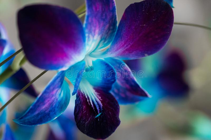 Purple Orchid Blooms 3. Macro Shot of purple and blue orchid blooms stock photo