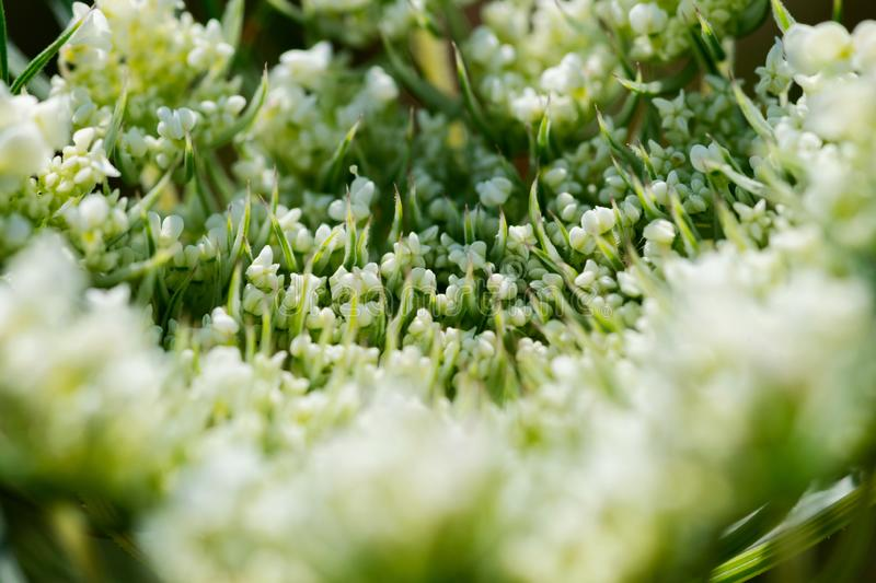 Macro shot of Queen Anne lace Wild Carrot flower in the prairie field. Wild white flowering plant in the family Apiaceae. stock images