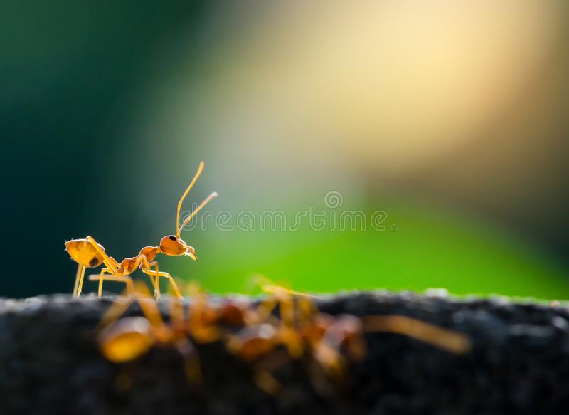 Macro shot of red ant in nature with selective focus. Macro shot of red ant in nature with selective . The conception of leadership and teamwork stock image