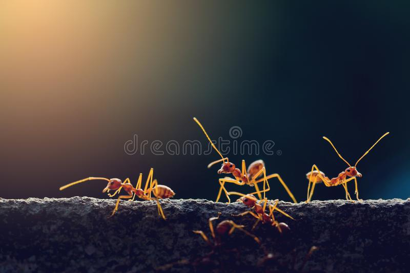 Macro shot of red ant in nature with selective focus. Macro shot of red ant in nature with selective . The conception of leadership and teamwork stock photo