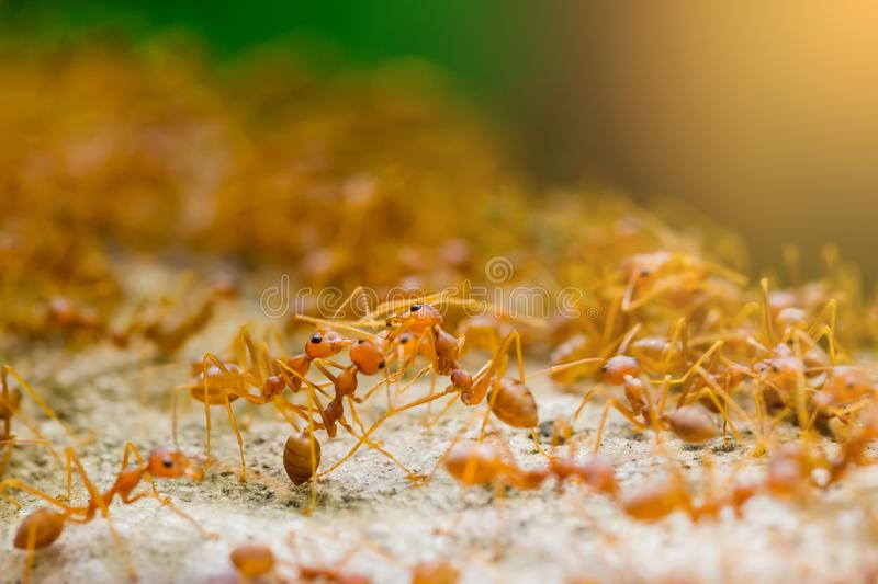 Macro shot of red ant in nature with selective focus. Macro shot of red ant in nature with selective . The conception of leadership and teamwork royalty free stock photography
