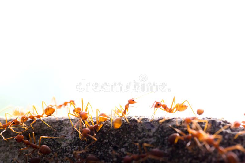 Macro shot of red ant in nature with selective focus. Macro shot of red ant in nature with selective . The conception of leadership and teamwork stock images