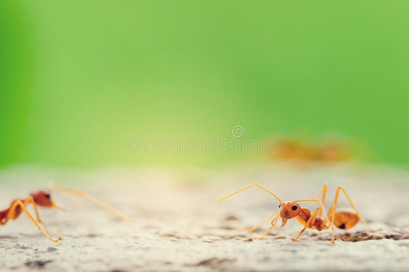 Macro shot of red ant in nature with selective focus. The conception of leadership and teamwork royalty free stock images