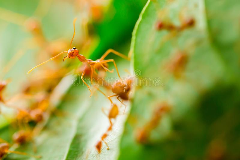 Macro shot of red ant in nature with selective focus. The conception of leadership and teamwork stock image