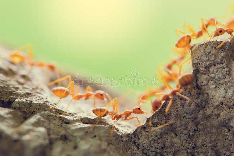 Macro shot of red ant in nature with selective focus. The conception of leadership and teamwork royalty free stock photos