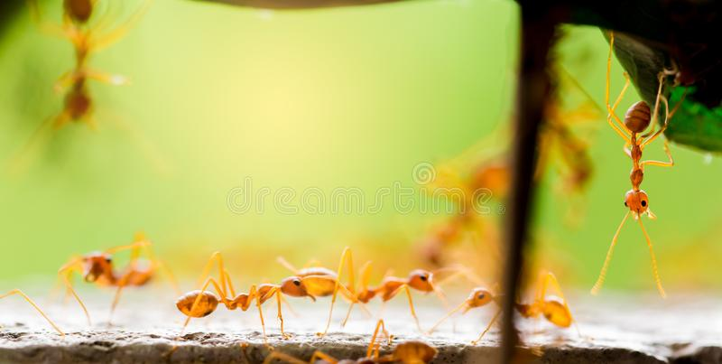 Macro shot of red ant in nature with selective focus. The conception of leadership and teamwork stock photo