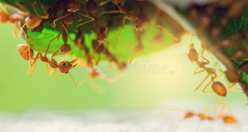 Macro shot of red ant in nature with selective focus. The conception of leadership and teamwork stock photography