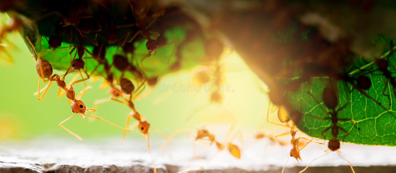 Macro shot of red ant in nature with selective focus. The conception of leadership and teamwork royalty free stock photo