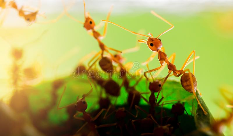Macro shot of red ant in nature with selective focus. The conception of leadership and teamwork royalty free stock image