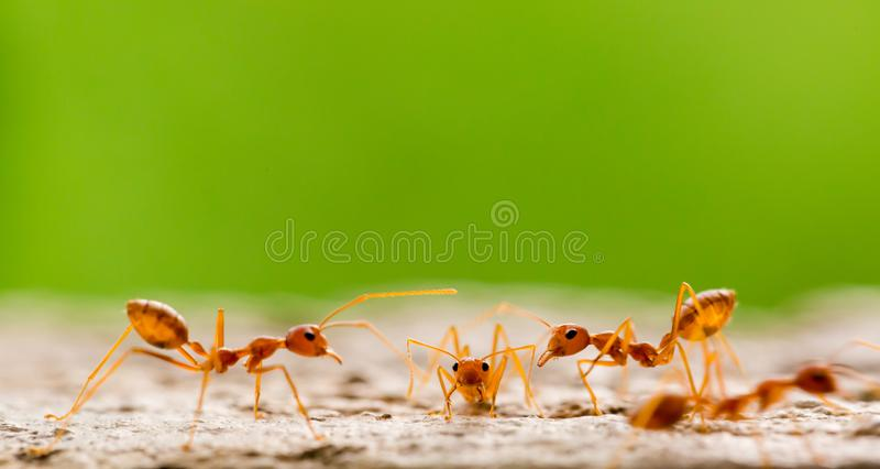 Macro shot of red ant in nature with selective focus. The conception of leadership and teamwork. Meeting concept stock photo