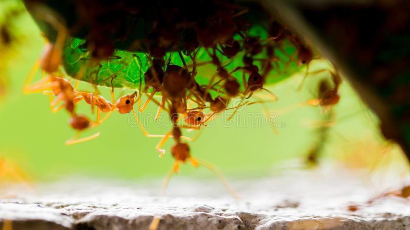 Macro shot of red ant in nature with selective focus. The conception of leadership and teamwork stock images