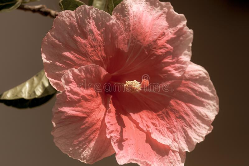 A red five-petaled hibiscus flower isolated. A macro shot of red five-petaled hibiscus flower isolated stock images