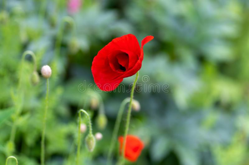 Macro shot of red flowers against the background of grass in soft focus royalty free stock photos