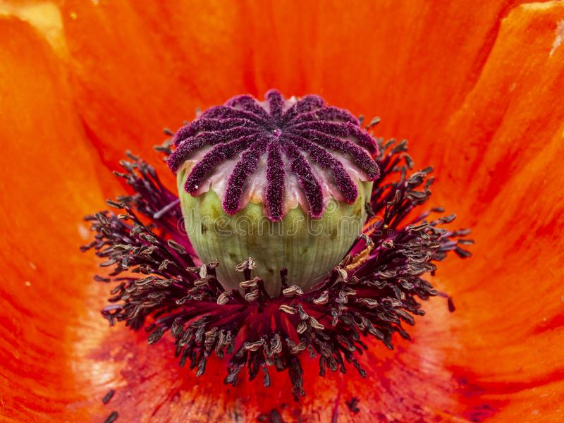 Macro shot of red poppy flower royalty free stock images