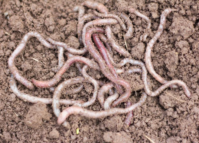 Macro shot of red worms Dendrobena in manure, earthworm live bait for fishing stock photos