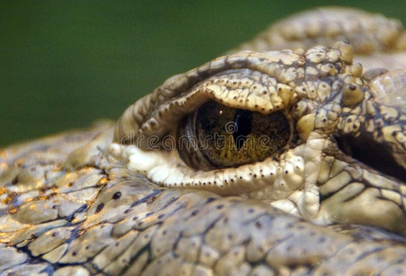 Macro Shot of Reptile royalty free stock image
