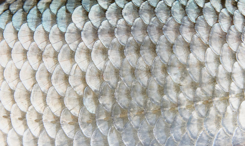 Macro shot of roach scales. Natural texture, lateral line is seen royalty free stock photos