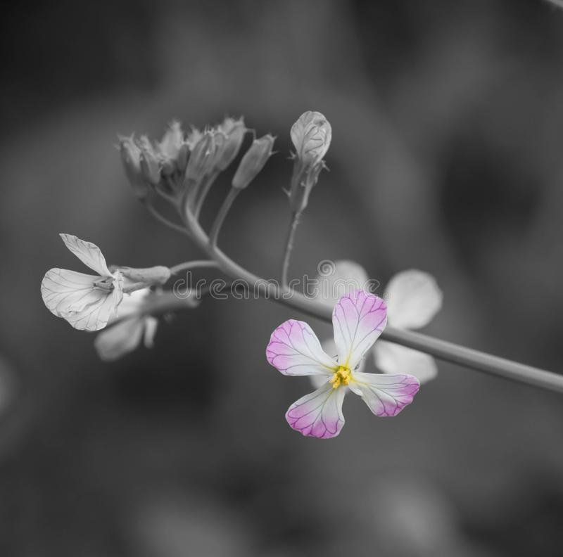 Macro shot of a small flower with black and white background. royalty free stock images