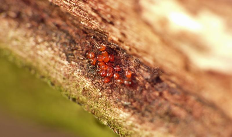 Macro Shot of a Small Group of Tiny Red Mites - UK. Macro shot of a small grouping of recently hatched tiny red mites on the underside of a tree bark. photo stock photos