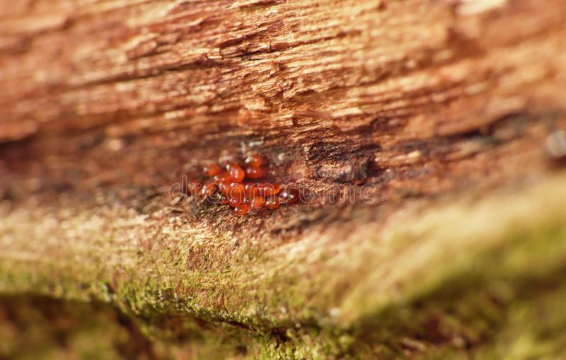 Macro Shot of a Small Group of Tiny Red Mites - UK. Macro shot of a small grouping of recently hatched tiny red mites on the underside of a tree bark. photo stock photography