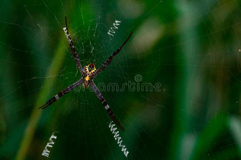 Macro shot of spider hanging on spider web on blurred green background royalty free stock image