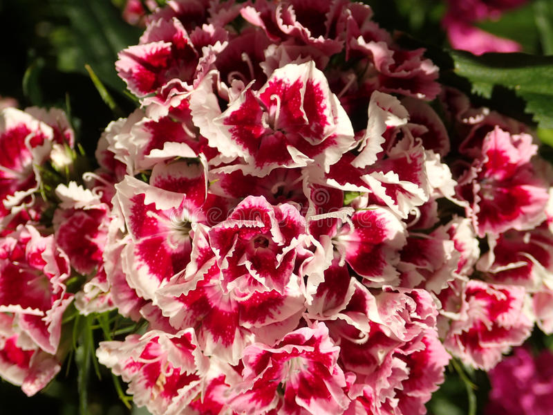 Macro shot of Sweet William flowers. Macro shot of pink, red, white, Sweet William, Dianthus Barbatus flowers royalty free stock images