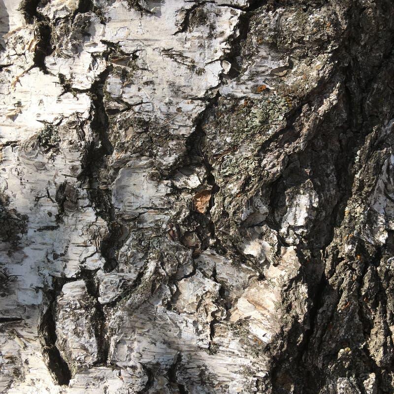 Macro shot of the texture birch bark. Abstract natural pattern. royalty free stock photos