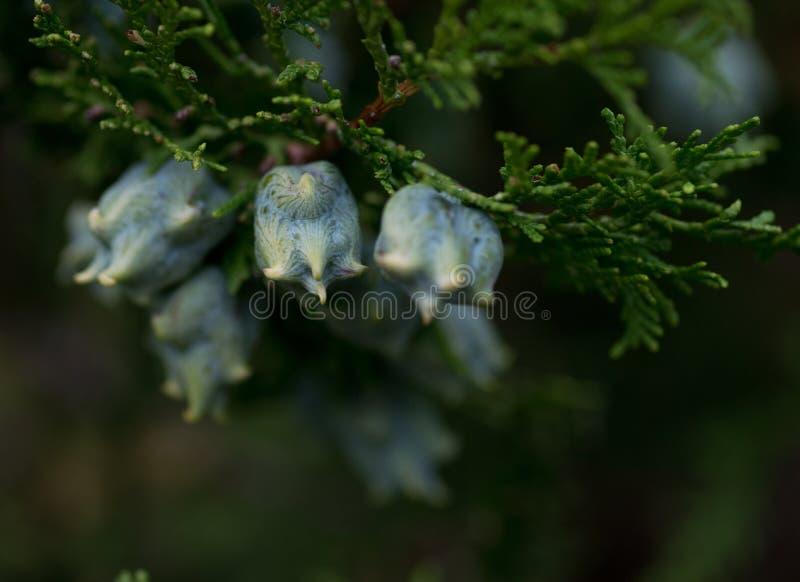 Macro shot of thuja occidentalis, northern white-cedar or eastern arborvitae, cypress family Cupressaceae. In botanic garden royalty free stock photo