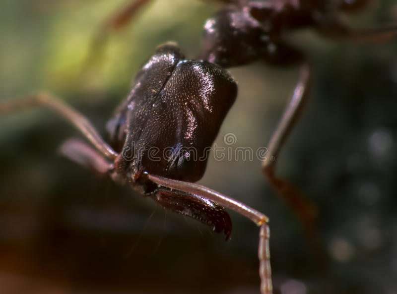 Trap Jaw Ant with Wide Open Appendages stock image