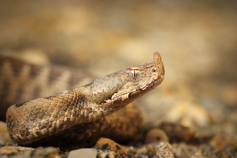 Macro shot of Vipera ammodytes montandoni. The nose horned viper, juvenile royalty free stock photography