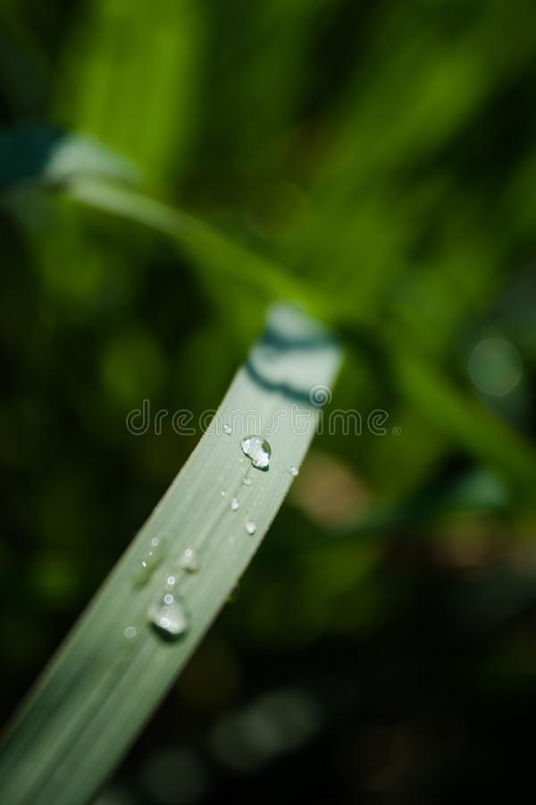 Macro Shot of Water Drops in Leaf Blade stock photography