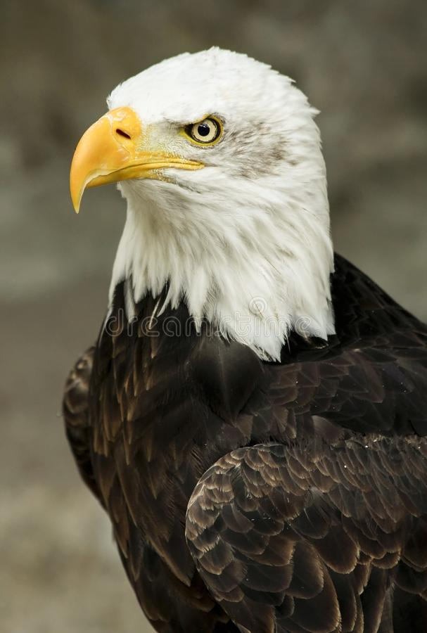 Macro Shot Of White And Brown American Eagle Free Public Domain Cc0 Image