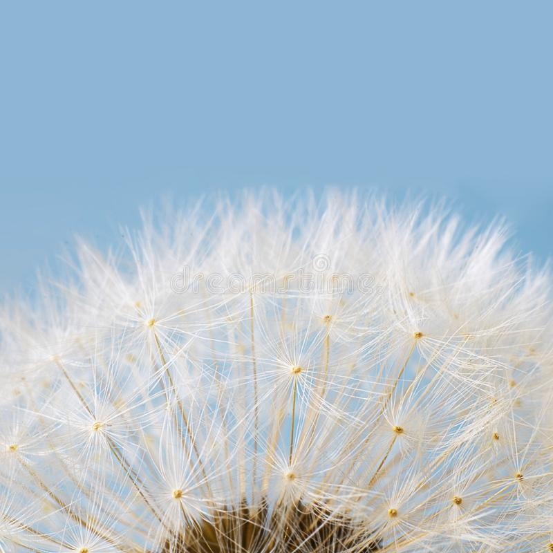 Macro shot of white dandelion on blue pastel background. Square with copy space royalty free stock photo