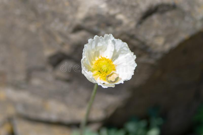 Macro shot of a white flower on a natural background in a soft focus stock photos