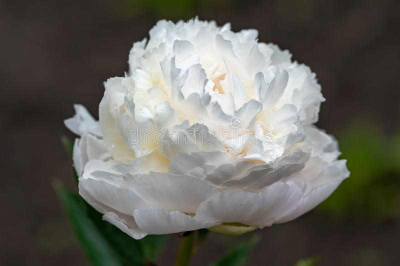 Macro shot of white peony in soft focus stock photography
