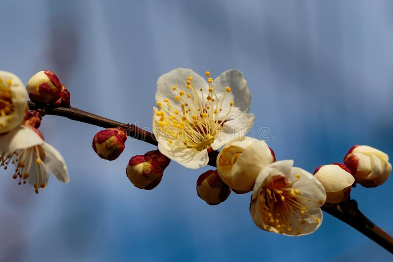 Plum blossom on a twig stock photography