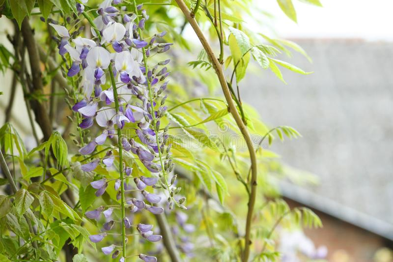 This macro shot of Wisteria in full bloom royalty free stock image