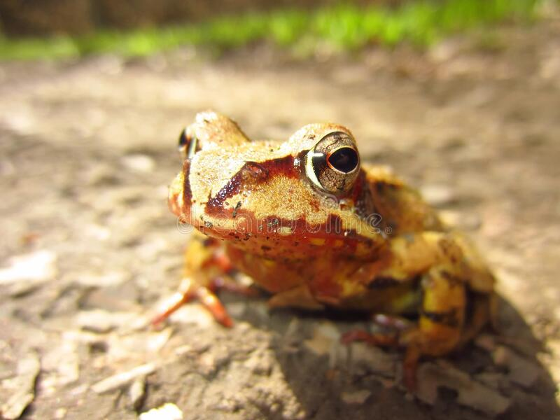 Macro Shot of Yellow and Brown Frog on Gray Asphalt Road during Daytime royalty free stock images