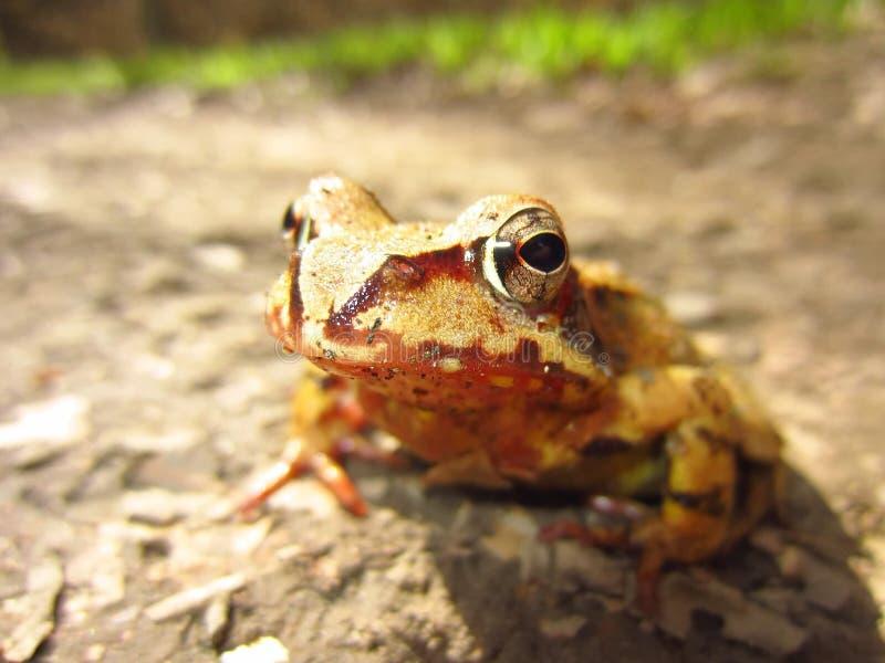 Macro Shot of Yellow and Brown Frog on Grey Asphalt Road durante o dia imagens de stock royalty free