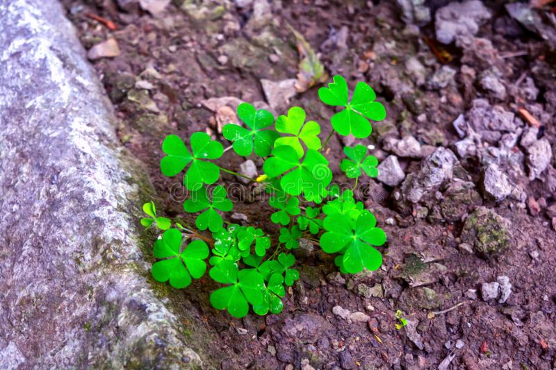 Macro shots of Creeping wood sorrel Oxalis corniculata plant With blurred background stock image
