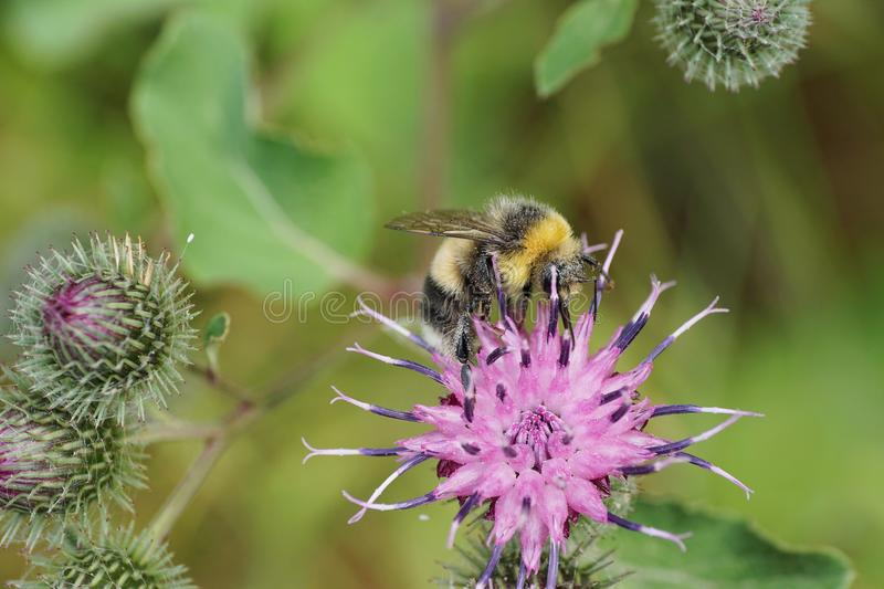 Macro side view gray and yellow-black caucasian bumblebee sitting in purple flower burdock Arctium lappa royalty free stock image