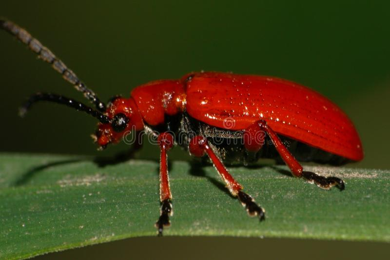 Macro side view of a red Caucasian beetle with long paws on a li royalty free stock images
