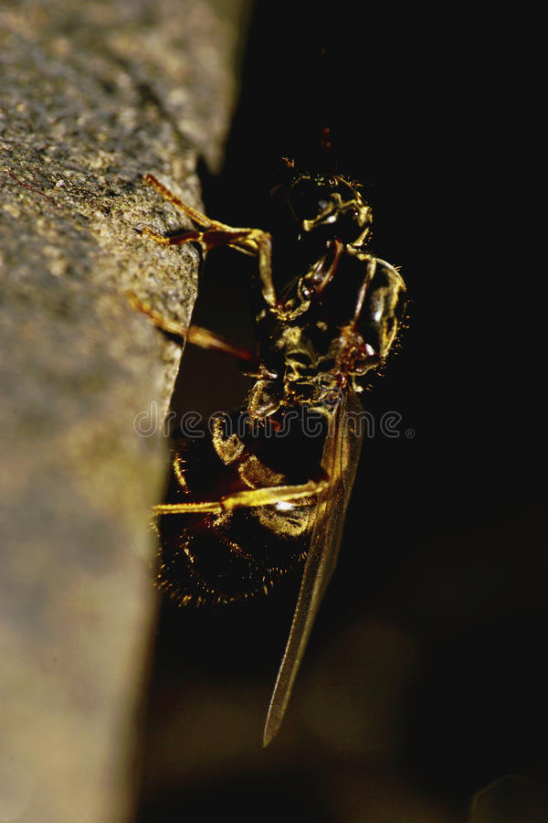 Macro side view of a vertical creeping of a winged ant Caucasian royalty free stock photography