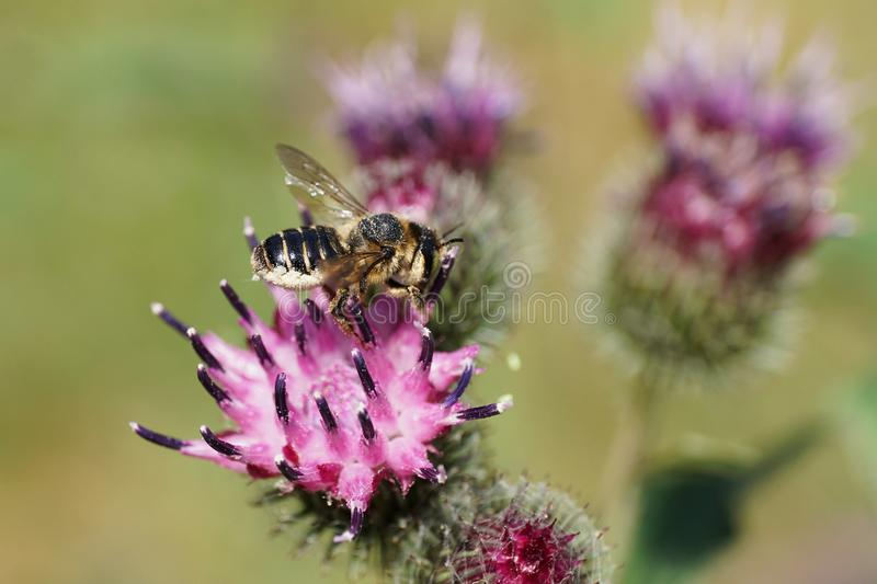 Macro side view of white-gray Caucasian bee by Hymenoptera Megachile rotundata on burdock flower Arctium lappa stock image
