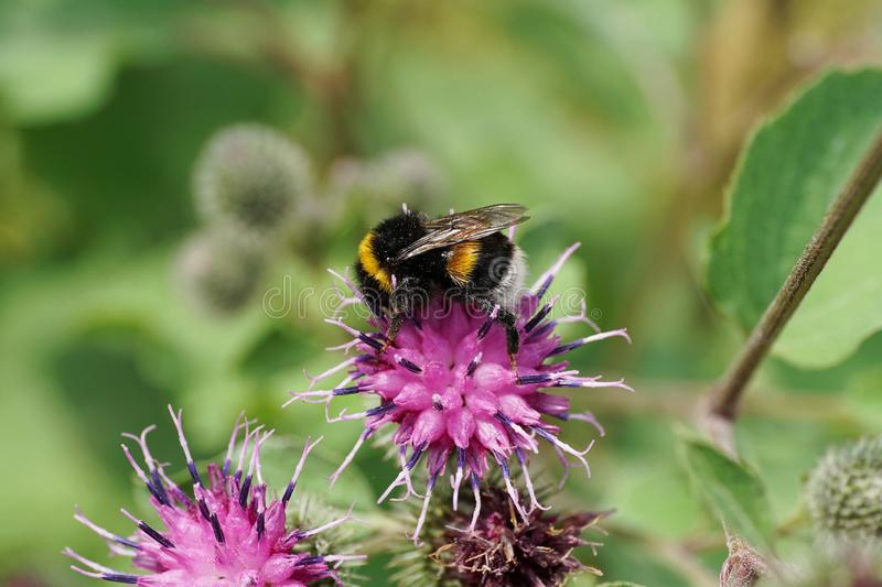 Macro side view of yellow-black Caucasian bumblebee Bombus lucorum on purple flower burdock royalty free stock images