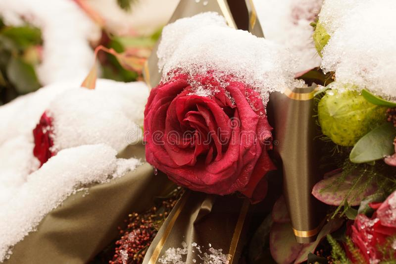 Macro on single frozen red rose. Funeral arrangement covered in snow. royalty free stock image