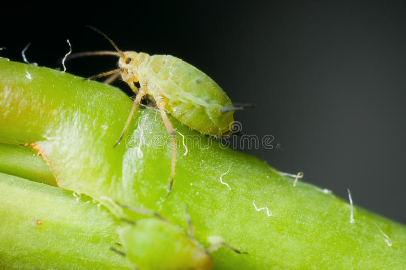 Macro of single greenfly. Lateral macro recording of a two millimetre-large green aphid stock photo