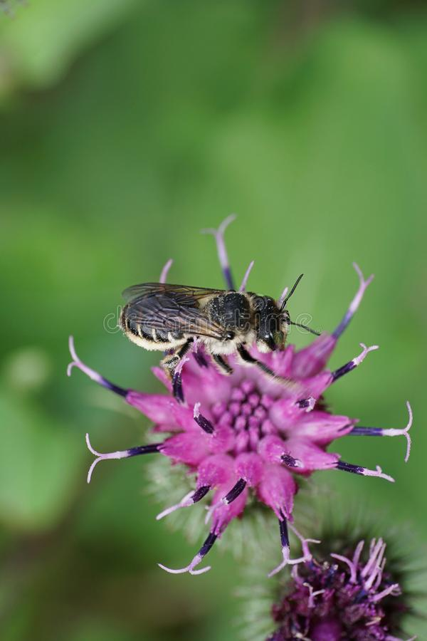 Macro of sitting Caucasian gray bee Megachile rotundata on agrimony Arctium lappa stock photography