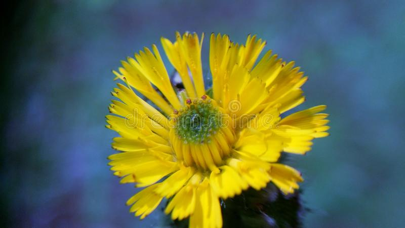Macro of small blooming yellow wildflower stock photography